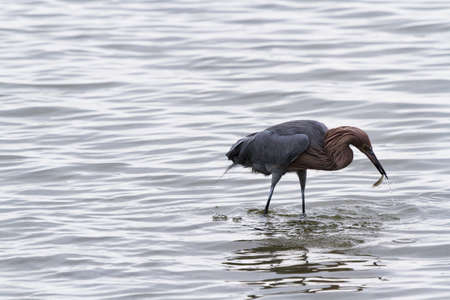 cameron county: Raddish heron in native habitat on South Padre Island, TX.