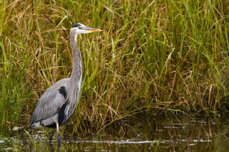 Great blue heron in native habitat on South Padre Island, TX. Stock Photo - 17196548