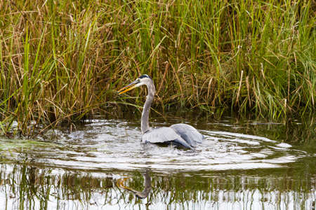 cameron county: Great blue heron in native habitat on South Padre Island, TX.