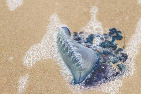 Portuguese Man O War Jellyfish on the beach od South padre, TX. Stock Photo - 17197375