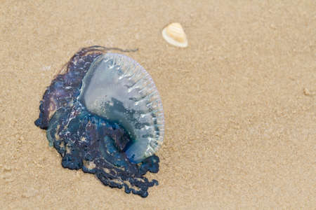 distanation: Portuguese Man O War Jellyfish on the beach od South padre, TX.