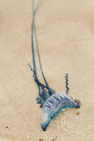 cameron county: Portuguese Man O War Jellyfish on the beach od South padre, TX.
