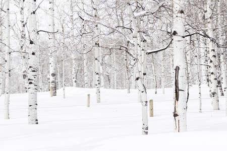 Aspen forest covered in fresh snow. Banco de Imagens