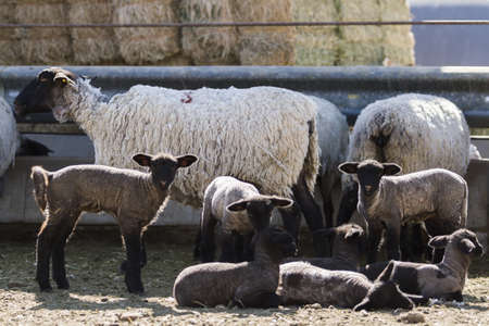 Suffolk sheep with lamb on a local farm in Spring. photo