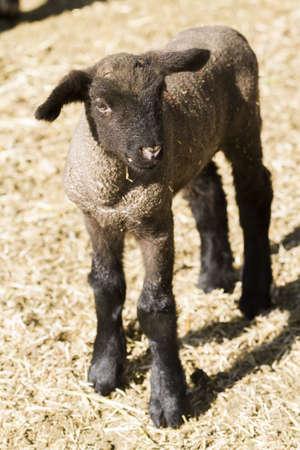 Suffolk lamb on a local farm.