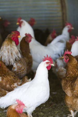 Free rrange  chickens on organic farm. Banque d'images