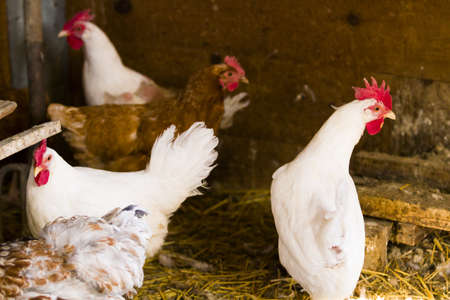 Free rrange  chickens on organic farm. 版權商用圖片
