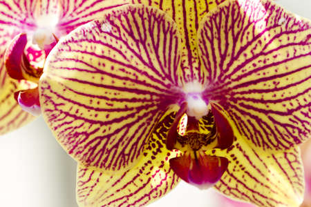 phal: Close up of colorful orchid plants in full blossom. Stock Photo
