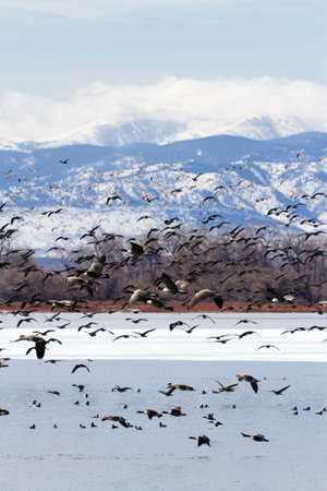 Canada geese migration at Barr Lake State Park, Colorado. Stock Photo - 18259284