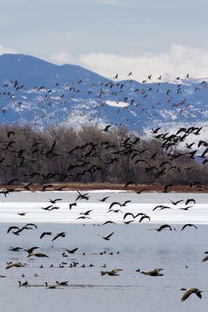 Kanada-Gänse Migration auf Barr Lake State Park, Colorado.