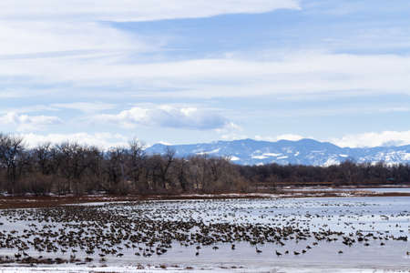 Canada geese migration at Barr Lake State Park, Colorado. Banco de Imagens