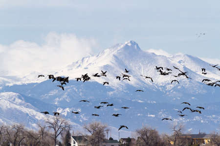 carpathian mountains: Canada geese migration at Barr Lake State Park, Colorado. Stock Photo