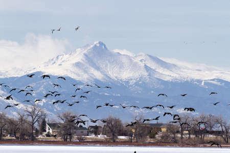 Canada geese migration at Barr Lake State Park, Colorado. Archivio Fotografico