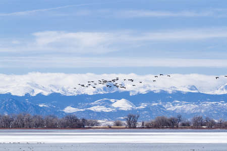 Canada geese migration at Barr Lake State Park, Colorado. Stock Photo - 18259281