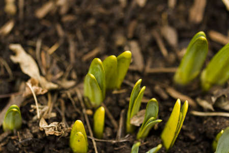 Shoots of daffodils breaking Spring ground. Stock Photo - 18326099