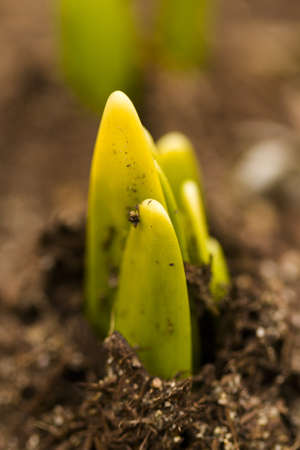 Shoots of daffodils breaking Spring ground. Stock Photo - 18326154