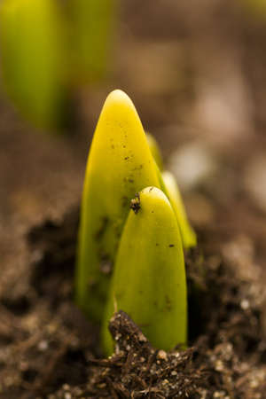Shoots of daffodils breaking Spring ground. photo
