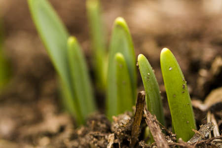 breaking new ground: Shoots of daffodils breaking Spring ground.