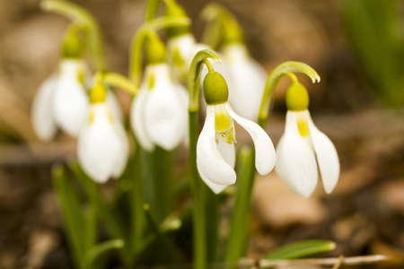 graden: Common snowdrop in Spring graden.