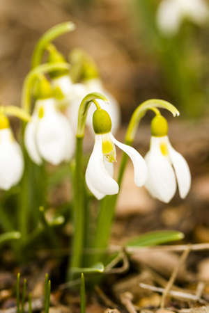 Common snowdrop in Spring graden. photo