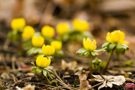 One of the earliest spring flowers to emerge out of the ground one of the earliest spring flowers to emerge out of the ground is eranthis stock mightylinksfo