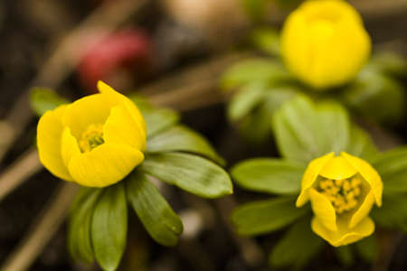 earliest: One of the earliest spring flowers to emerge out of the ground is Eranthis.