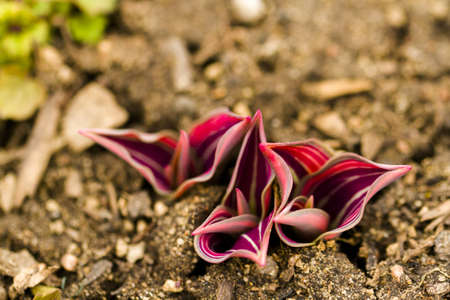 Shoots of tulips breaking Spring ground. photo