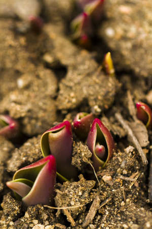 Shoots of tulips breaking Spring ground. Stock Photo - 18326524
