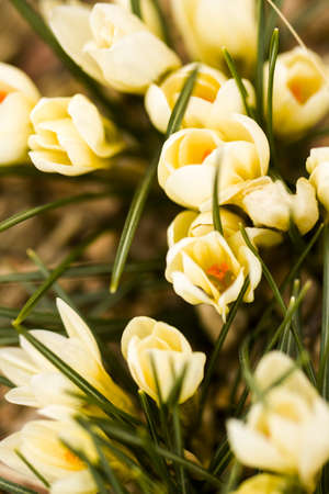 croci: White crocus in spring garden.