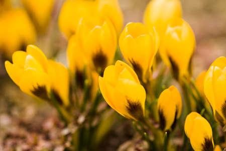 croci: Yellow crocus in spring garden.