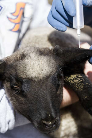 Vaccination of suffolk lamds on a local farm . photo
