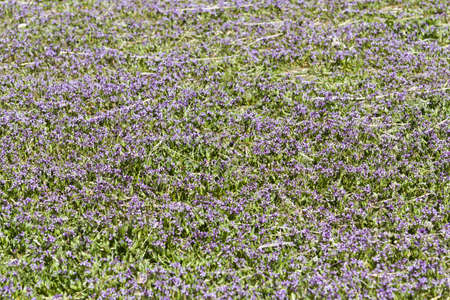 groundcover: Spring purple groundcover flowers in full bloom. Stock Photo