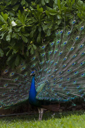 tail fan: Peacock in tropical climate.