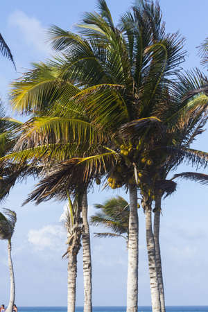 Coconut trees in tropical climate. photo