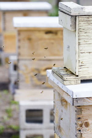 Honey bees return to the honey hive.