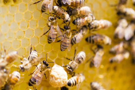 honey comb: Bees working on honeycomb.