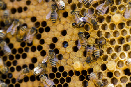 Bees working on honeycomb. photo