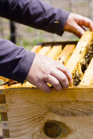 A beekeeper checking her hive. photo