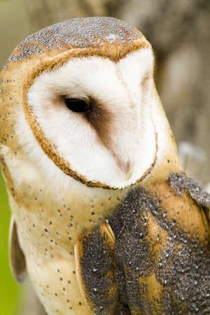 captivity: Close up of barn owl in captivity.