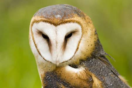 Close up of barn owl in captivity.