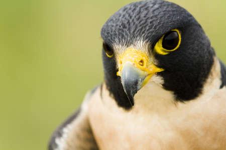 captivity: Close up of peregrine falcon in captivity. Stock Photo