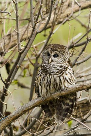 captivity: Close up of barred owl in captivity. Stock Photo