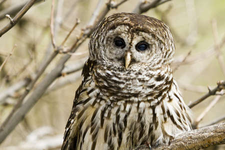 barred: Close up of barred owl in captivity. Stock Photo