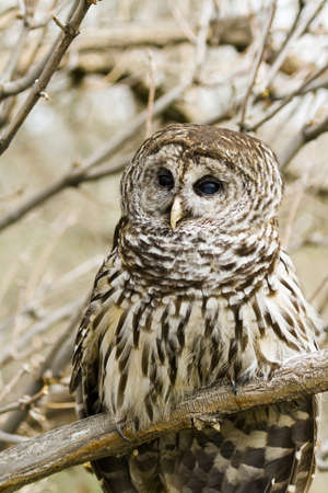 Close up of barred owl in captivity. photo