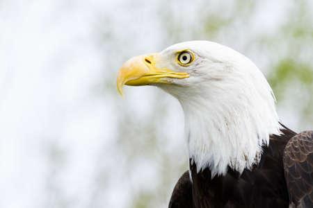 captivity: Bald eagle of North America in captivity.