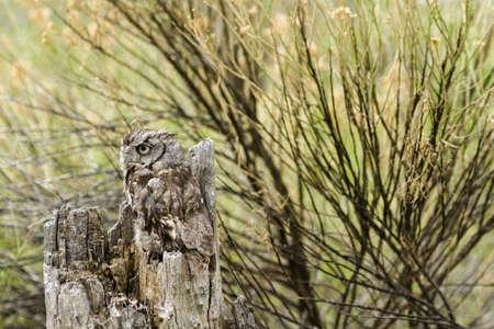 megascops: Primo piano di civetta occidentale in cattivit�. Archivio Fotografico