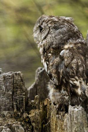 megascops: Close up of western screech owl in captivity.