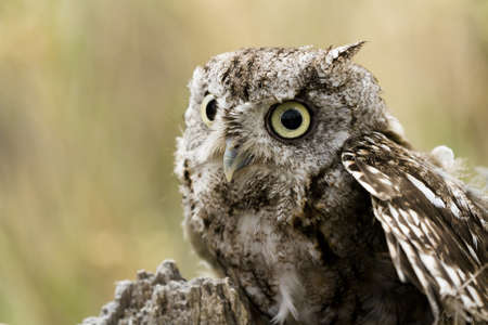 megascops: Close up of western screech owl in captivity.