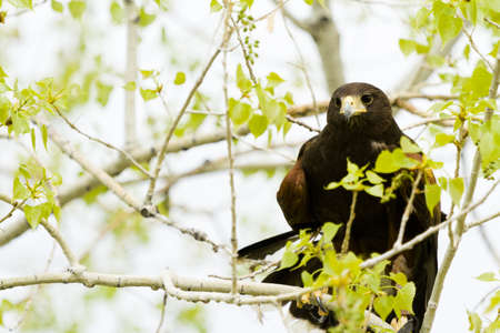 captivity: Close up of harriss hawk in captivity.
