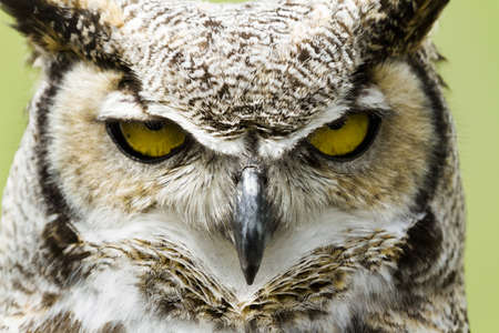 Close up of great horned owl in captivity.